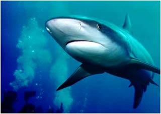 Cá mập dùng gì để định vị mùi?