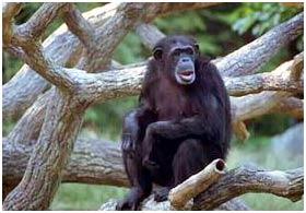 Tổ tiên của loài người đã học đi đứng từ trên cây