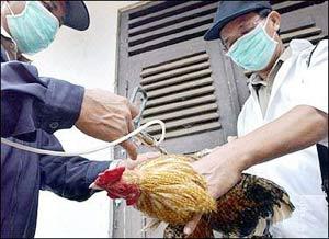 Người Indonesia không biết về hiểm họa cúm gia cầm