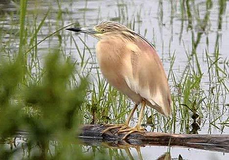 Con chim diệc mào được nhìn thấy lần cuối vào năm 1866.
