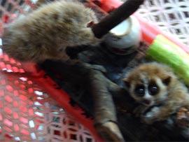 Trả 2 con Culi về Vườn quốc gia Cúc Phương