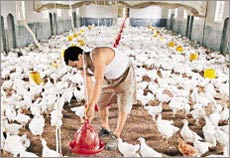 Virus H5N1 có thể lây qua đường tiêu hóa
