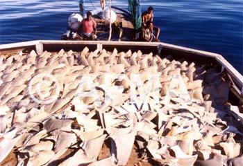 Vây cá mập gây hại cho sức khỏe