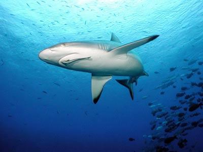 90% lượng cá mập biến mất do bị săn bắt