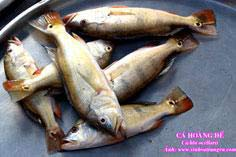 Cá Hoàng đế - thảm họa môi trường mới ở hồ Trị An