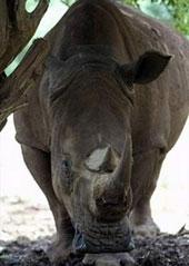 Zambia chỉ còn 1 con tê giác trắng!