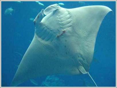 Cá đuối đầu tiên được sinh ra trong điều kiện nuôi nhốt