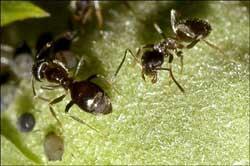 Loài kiến cũng biết khử trùng
