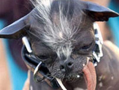 Chú chó xấu nhất thế giới