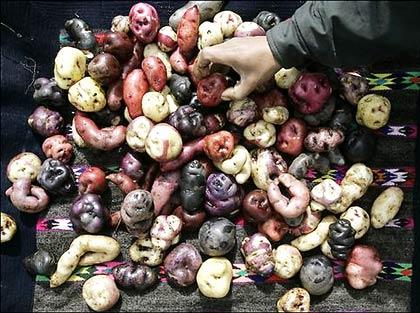 Phục hồi giống khoai tây cổ