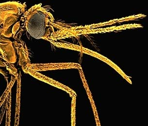 Bản đồ gien muỗi đã được hoàn thiện