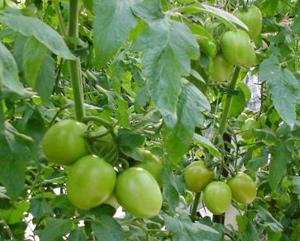 Ăn cà chua xanh dễ ngộ độc