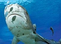 Cá mập đảo Bahamas