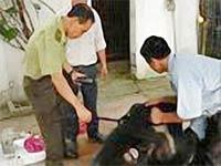 Gắn chíp gấu nuôi: Tình trạng nuôi nhốt gấu giảm rõ rệt