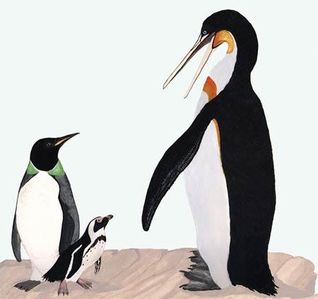 Không giống như cánh cụt ngày nay (trái), loài chim quá khổ cổ đại (phải) có chiếc mỏ nhọn và dài