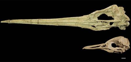 Sọ của chim cánh cụt Icadyptes salasi (trên) từng xuất hiện ở Peru cách đây 30 triệu năm có chiếc mỏ dài, so sánh với loài chim cách cụt sống ở Peru ngày nay. (Thước đo 1cm)