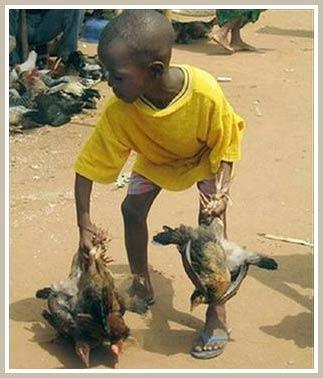 Cúm gia cầm xuất hiện tại Togo