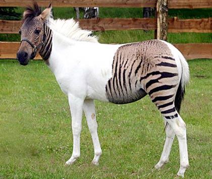 Con ngựa lạ lùng nhất trong thế giới loài ngựa