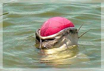 Một con cá mắc nghẹn... quả bóng rổ