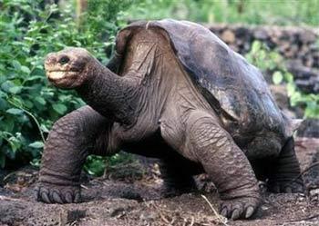 Tìm bạn tình cho rùa già cô đơn