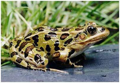 Điều trị ung thư bằng enzyme của ếch