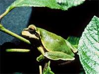 Vì sao ếch có màu xanh?