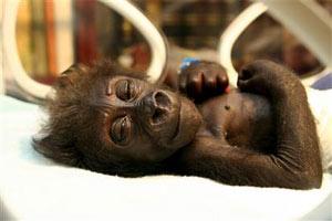 """""""Bé"""" gorilla vào viện vì mẹ bỏ rơi"""