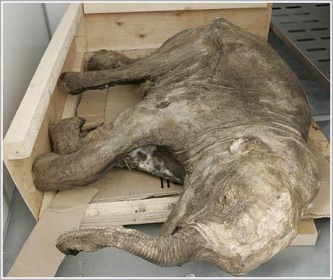 Phát hiện xác ướp một chú voi mamút con