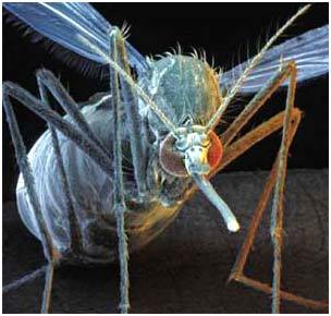 Muỗi Aedes aegypti mang virus sốt vàng da và sốt xuất huyết