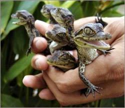 Cá sấu non đã biết gọi mẹ trước khi ra đời