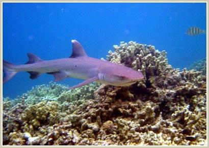 Biển càng mặn, cá mập càng ít máu