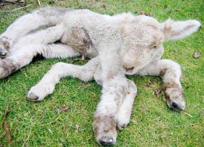 New Zealand xuất hiện cừu 7 chân
