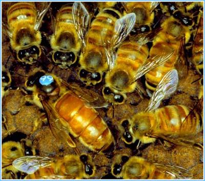 Ong chúa kiểm tra một ngăn tổ chuẩn bị đẻ, trong khi các ong thợ bu quanh phục vụ.