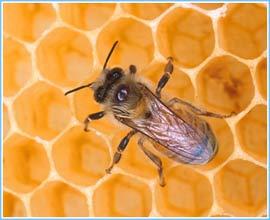 Ong thợ bị tẩy não