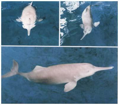 Cá heo mỏ sông Dương tử - Lipotes vexillifer