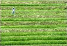 Nhật: Thử nghiệm sản xuất nhiên liệu sinh học từ cây lúa