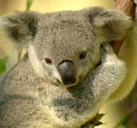 Vắc-xin ngừa bệnh Chlamydia được thử nghiệm trên gấu Koala