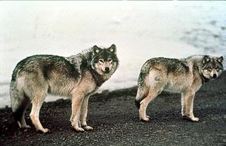Loài sói vùng Alaska bắt đầu tuyệt chủng từ 12,000 năm trước