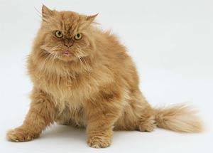 Mèo cũng lẩm cẩm khi về già