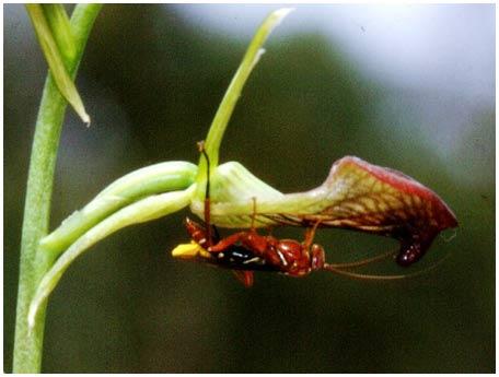 Trò lừa tình giữa phong lan và ong bắp cày