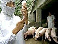 Trung Quốc: Bệnh heo tai xanh đang lan nhanh