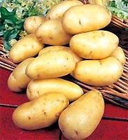 Tạo củ khoai tây giống nhỏ như hạt đỗ
