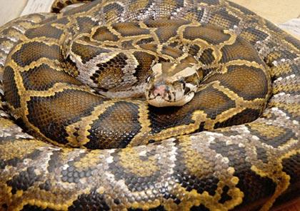 Đói quá, rắn ăn cả tim mình