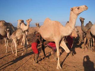 Châu Phi giảm đói nghèo nhờ... sữa lạc đà