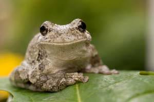Chất kháng sinh tốt hơn được sản xuất từ da ếch