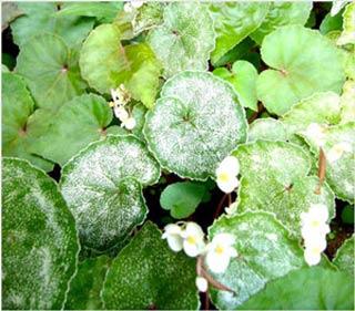 Kiên Giang: Chính thức công bố loài thực vật mới được phát hiện