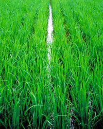 Nông dân Hòa Bình phục tráng 24 giống lúa
