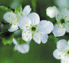 Chữa bệnh nhờ linh hồn của hoa