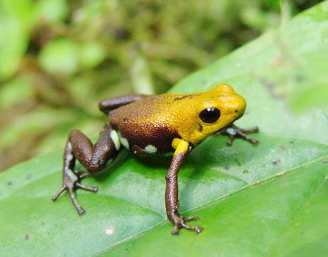 Colombia: Phát hiện một loài ếch vàng mới