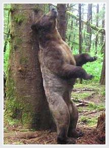 Vì sao gấu cọ lưng vào cây?